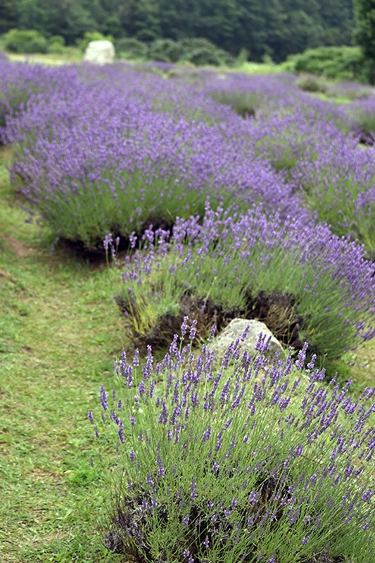 Health Naturally Lavender Labyrinth