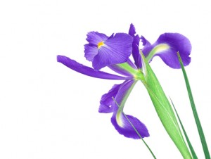 Beautiful blue iris buds isolated on white background.