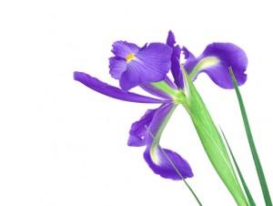 Beautiful blue iris buds isolated on white background.