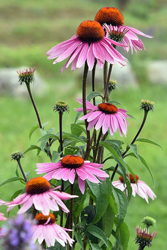Purple Cone Flower (Echinacea)